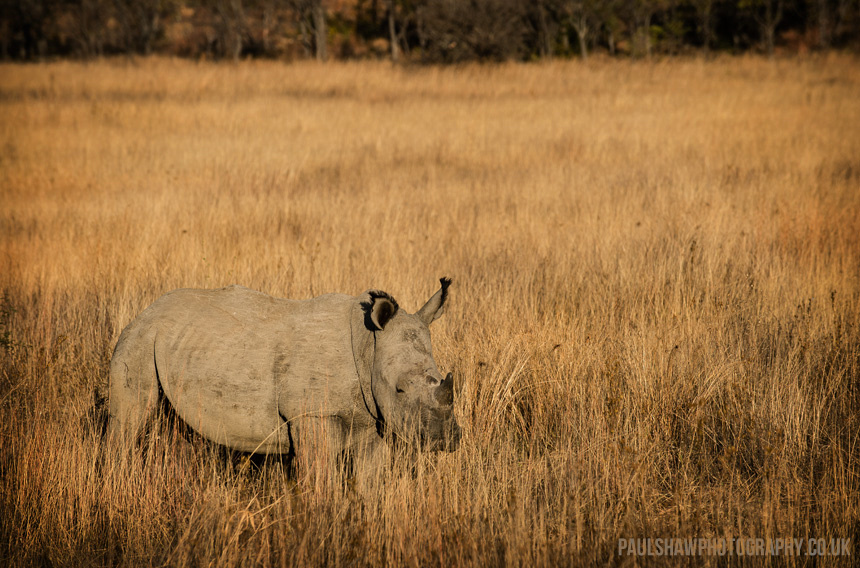 A white rhino stands among the winter grass