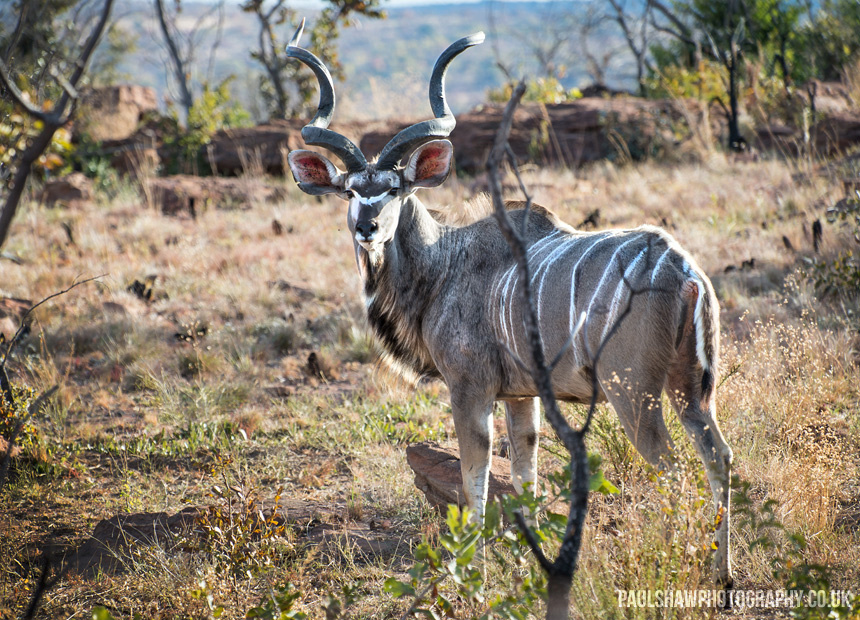 A greater kudu looks back as it senses my presence