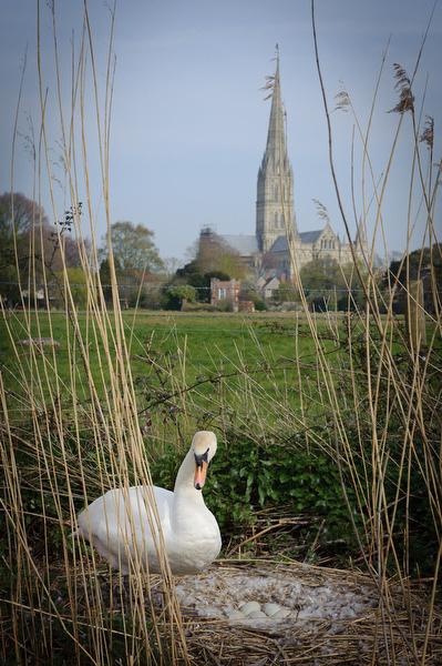 Swan with Salisbury Cathedral behind - UK
